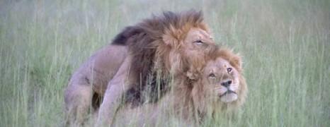 La photo de deux lions qui tentent de s'accoupler