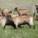 Des chèvres pour écarter les homosexuels !