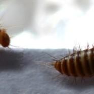 Des mites rendues gay pour préserver les animaux